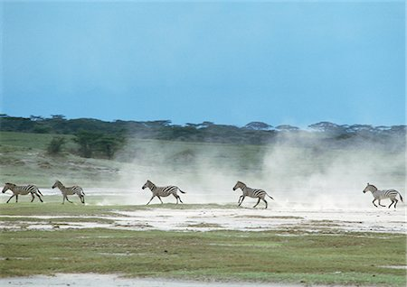Plains Zebras (Equus quagga) galloping across plain, kicking up dust, Tanzania, Africa Stock Photo - Premium Royalty-Free, Code: 695-03381437