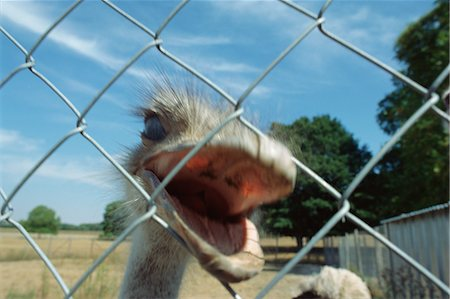 Ostrich behind fence Stock Photo - Premium Royalty-Free, Code: 696-05780777