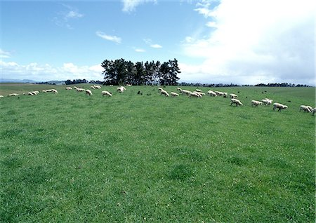 New Zealand, sheep grazing in field Stock Photo - Premium Royalty-Free, Code: 696-03398065