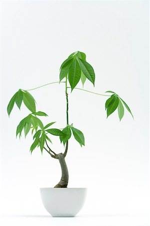 silk floss tree - Potted silk floss tree Stock Photo - Premium Royalty-Free, Code: 696-03402861