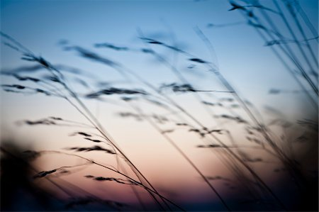 Blurred image of grass at dusk Stock Photo - Premium Royalty-Free, Code: 698-05980729
