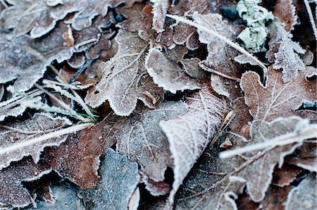 Close-up of a frozen leaves in winter Stock Photo - Premium Royalty-Free, Code: 698-06374710
