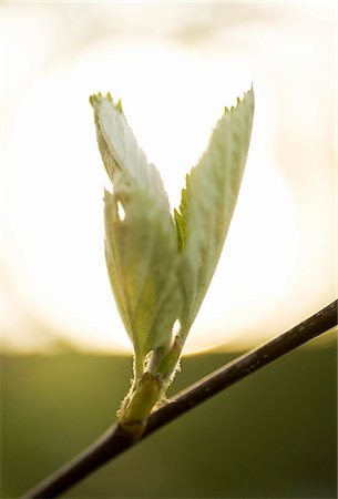 Detail of new leaves growing on stem Stock Photo - Premium Royalty-Free, Code: 698-06374762