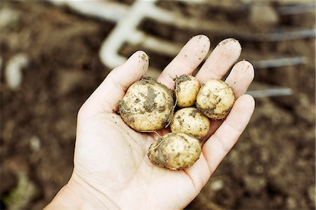 Close-up of a person's hand showing raw potatoes Stock Photo - Premium Royalty-Free, Code: 698-06374803