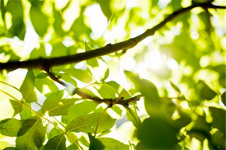 Sunlight through green leaves Stock Photo - Premium Royalty-Free, Code: 698-06374850