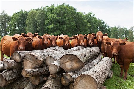 Large group of cows in front of logs Stock Photo - Premium Royalty-Free, Code: 698-06374869