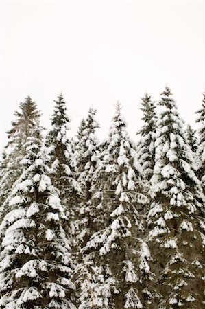 snow covered trees - Coniferous trees covered in snow against clear sky Stock Photo - Premium Royalty-Free, Code: 698-06375085