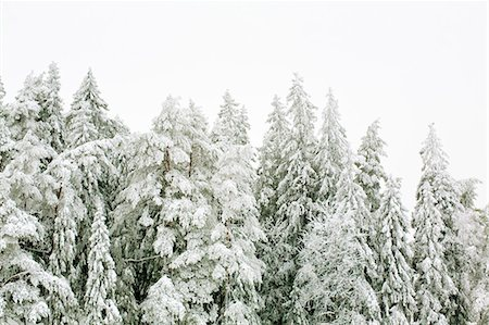 snow covered trees - Snow covered trees against clear sky Stock Photo - Premium Royalty-Free, Code: 698-06375086