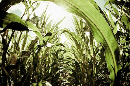 Corn against sunlight Stock Photo - Premium Royalty-Free, Code: 698-06375194