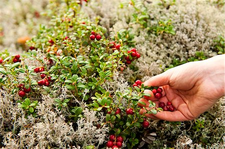 selecting - Hands picking cherries from plants Stock Photo - Premium Royalty-Free, Code: 698-06444309