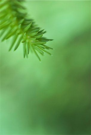 Selective focus of a spruce twig Stock Photo - Premium Royalty-Free, Code: 698-06443892