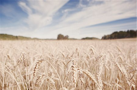Wheat field against cloudy sky Stock Photo - Premium Royalty-Free, Code: 698-06443908