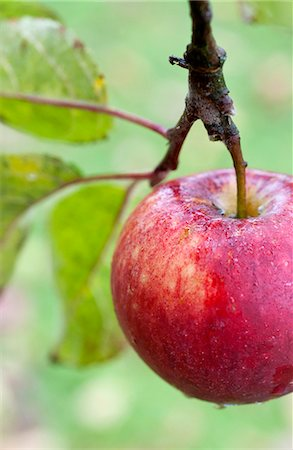 fresh - Rain drops on fresh apple Stock Photo - Premium Royalty-Free, Code: 698-06803979
