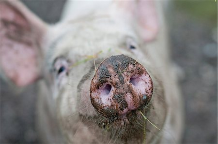 smelly - Close-up of pig's snout Stock Photo - Premium Royalty-Free, Code: 698-07158447