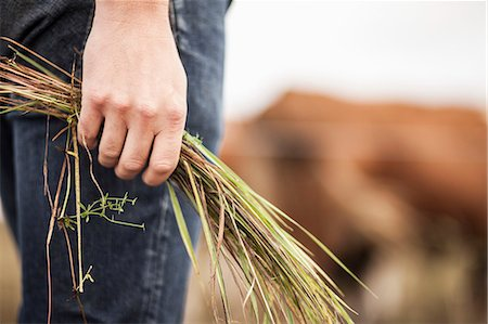 Midsection of farmer holding grass on field Stock Photo - Premium Royalty-Free, Code: 698-07439590