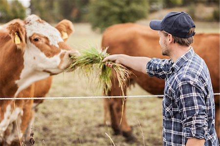 Mid adult farmer feeding cow in field Stock Photo - Premium Royalty-Free, Code: 698-07439593