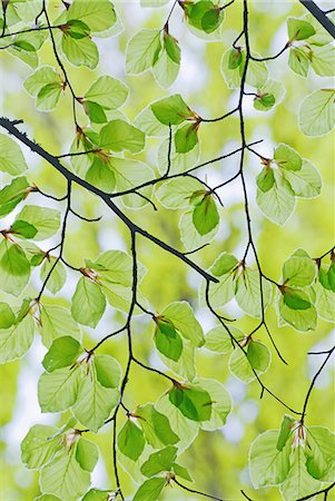 Branches and leaves of beech tree in spring Stock Photo - Premium Royalty-Free, Code: 698-07587794