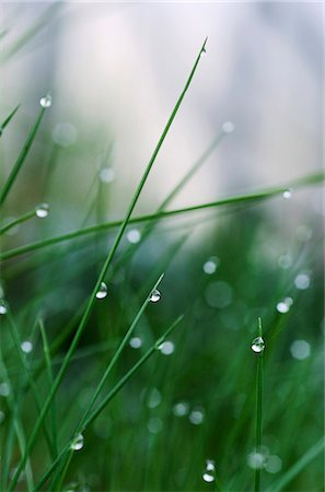 Water droplets on grass in morning Stock Photo - Premium Royalty-Free, Code: 698-07587797