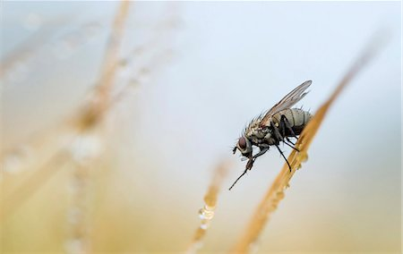 Housefly on straw with dew drops Stock Photo - Premium Royalty-Free, Code: 698-07587824