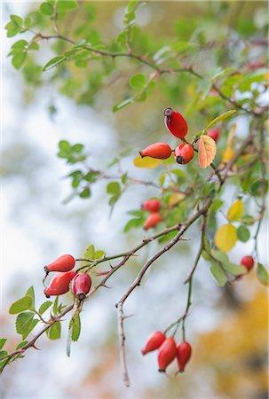 season - Ripe rosehips in autumn Stock Photo - Premium Royalty-Free, Code: 698-07587827