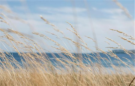 Grass on a windy day by sea Stock Photo - Premium Royalty-Free, Code: 698-07587823