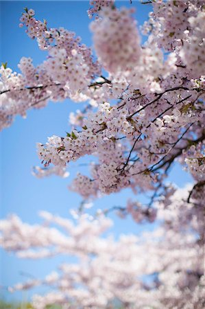 Cherry blossom tree against clear sky Stock Photo - Premium Royalty-Free, Code: 698-07611506