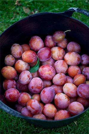 Basket full of freshly harvested plums Stock Photo - Premium Royalty-Free, Code: 698-07611528