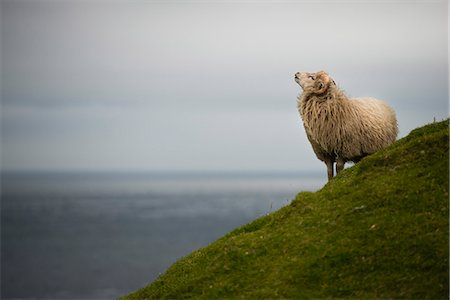 domestic sheep - Sheep standing on grassy hill against sea and sky Stock Photo - Premium Royalty-Free, Code: 698-08008104