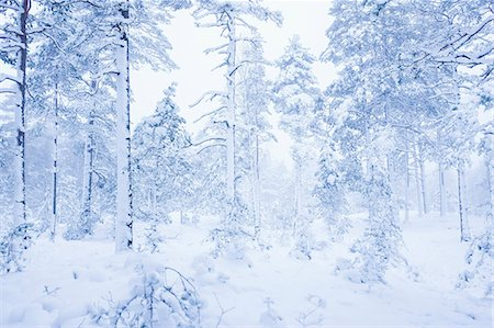 snow covered trees - Snow covered trees and landscape in foggy weather Stock Photo - Premium Royalty-Free, Code: 698-08008175