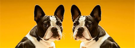 Portrait of symmetrical French Bulldogs over yellow background Stock Photo - Premium Royalty-Free, Code: 693-06325312