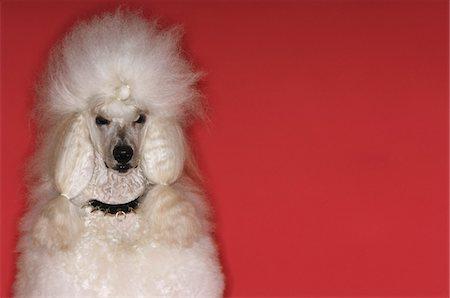 White Poodle Stock Photo - Premium Royalty-Free, Code: 693-03304963