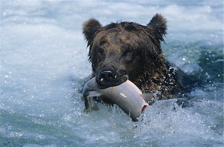Grizzly bear swimming with fish in mouth Stock Photo - Premium Royalty-Free, Code: 693-03306339