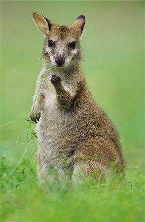 Joey Kangaroo in grass Stock Photo - Premium Royalty-Free, Code: 693-03306400
