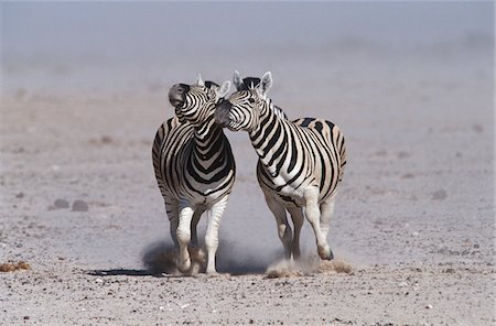 Namibia, Etosha Pan, two Burchell's Zebras running side by side Stock Photo - Premium Royalty-Free, Code: 693-03311352