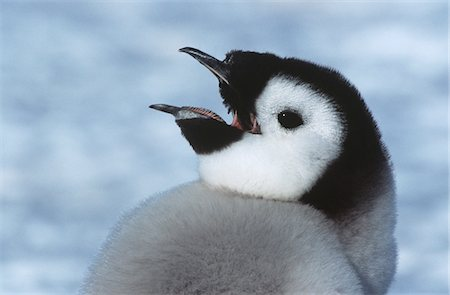 fluffy - Close-up of Juvenile Emperor Penguin with open beak Stock Photo - Premium Royalty-Free, Code: 693-03311425