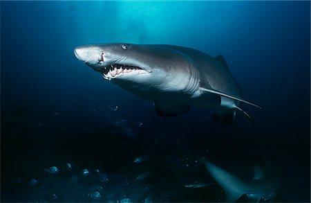 predator - Sand tiger shark (carcharias taurus), underwater view Stock Photo - Premium Royalty-Free, Code: 693-03312836