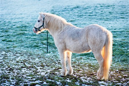 furry - White Pony in Frost Covered Field, Cotswolds, Gloucestershire, England, United Kingdom Stock Photo - Rights-Managed, Code: 700-04424919