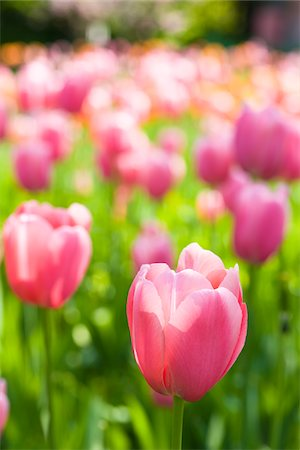 spring flowers - Darwin Hybrid Tulips in Bloom Stock Photo - Rights-Managed, Code: 700-04926441
