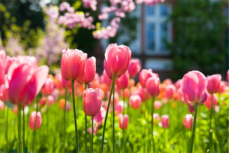 spring flowers - Darwin Hybrid Tulips in Bloom Stock Photo - Rights-Managed, Code: 700-04926442