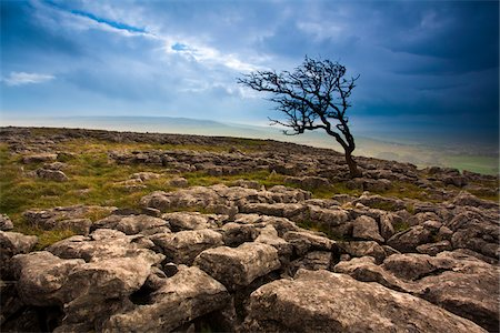 rugged landscape - Hawthorn Tree at Twistleton Scar, Yorkshire Dales National Park, North Yorkshire, England Stock Photo - Rights-Managed, Code: 700-05641766
