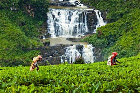 farmhand (female) - Tea Pickers at Tea Plantation by St. Clair's Falls, Nuwara Eliya District, Sri Lanka Stock Photo - Rights-Managed, Code: 700-05642234