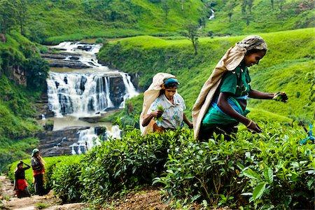 farmhand (female) - Tea Pickers at Tea Plantation by St. Clair's Falls, Nuwara Eliya District, Sri Lanka Stock Photo - Rights-Managed, Code: 700-05642235