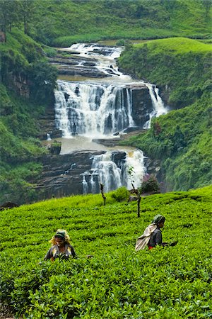farmhand (female) - Tea Pickers at Tea Plantation by St. Clair's Falls, Nuwara Eliya District, Sri Lanka Stock Photo - Rights-Managed, Code: 700-05642232