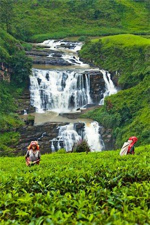 farmhand (female) - Tea Pickers at Tea Plantation by St. Clair's Falls, Nuwara Eliya District, Sri Lanka Stock Photo - Rights-Managed, Code: 700-05642233