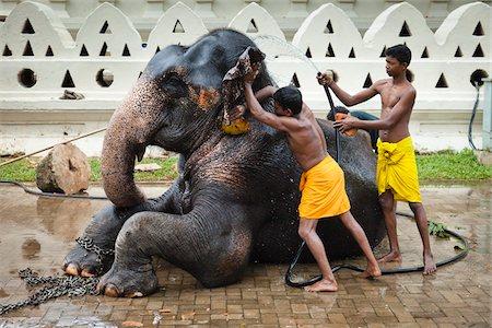 restrained - Men Washing Elephant before Perahera Festival, Kandy, Sri Lanka Stock Photo - Rights-Managed, Code: 700-05642265