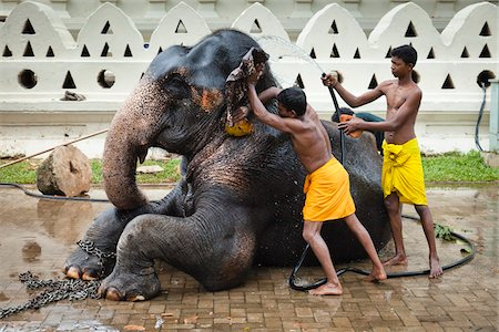 restrained - Men Washing Elephant before Perahera Festival, Kandy, Sri Lanka Stock Photo - Rights-Managed, Code: 700-05642265