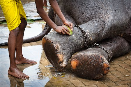 restrained - Man Washing Elephant's Feet before Perahera Festival, Kandy, Sri Lanka Stock Photo - Rights-Managed, Code: 700-05642263