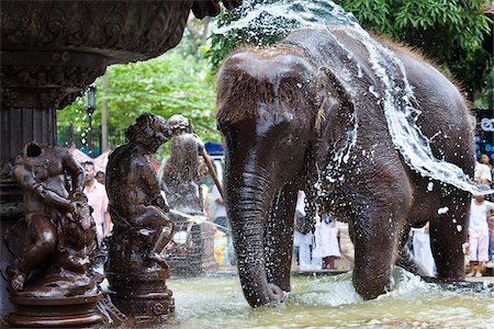 restrained - Elephant Being Washed in Public Fountain before Perahera Festival, Kandy, Sri Lanka Stock Photo - Rights-Managed, Code: 700-05642270
