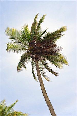 palm - Palm Tree, Praia de Tabatinga, Paraiba, Brazil Stock Photo - Rights-Managed, Code: 700-05810240