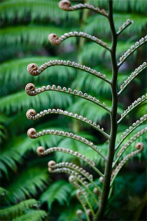 Giant Fern, Kinsakubaru Primary Forest, Amami Oshima, Amami Islands, Kagoshima Prefecture, Japan Stock Photo - Rights-Managed, Code: 700-05837455